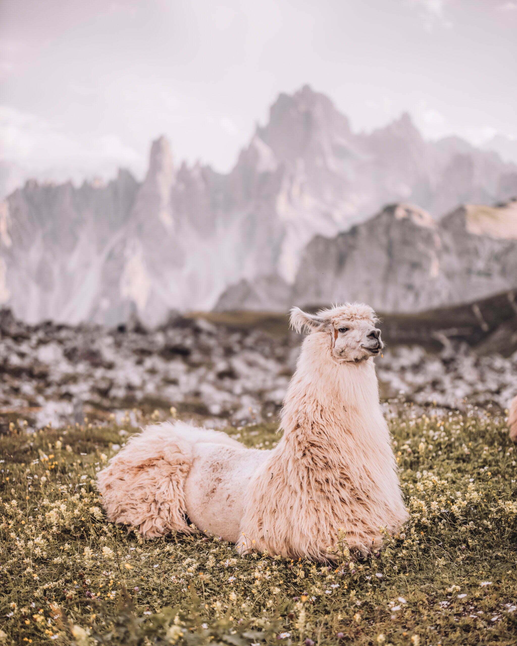 Trekking alpaca Dolomiti